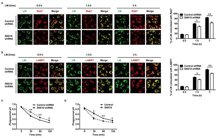 SNX10 promotes the maturation of