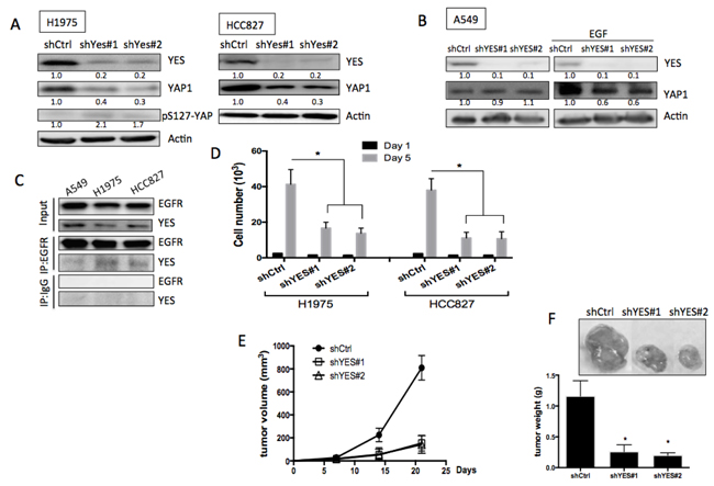 Role of YES in EGFR-mediated YAP1 expression and function.