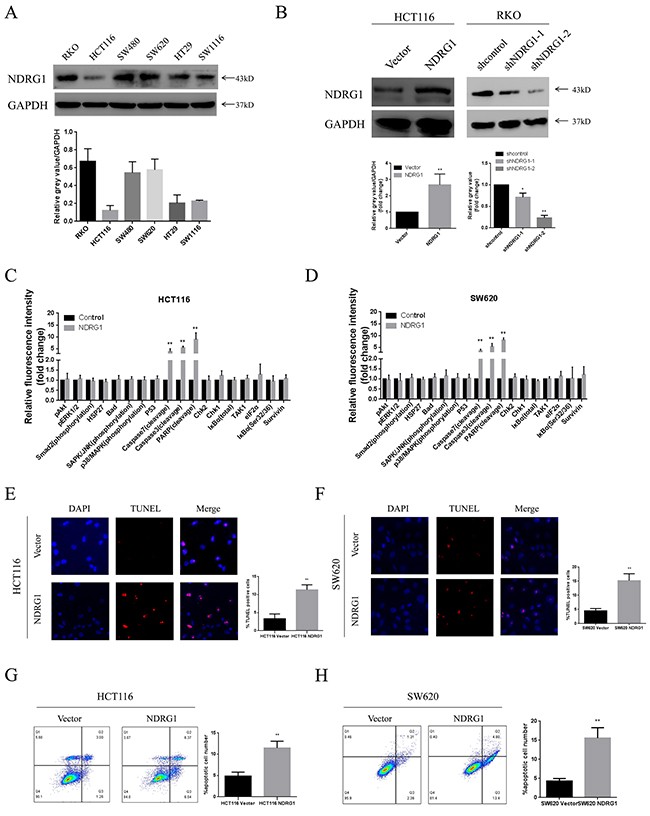 NDRG1 suppressed CRC cell viability by inducing apoptosis.