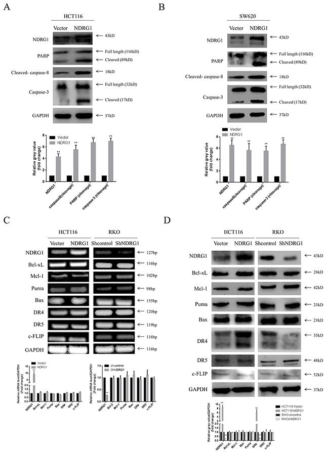 NDRG1 induced apoptosis via activating death receptor pathway.