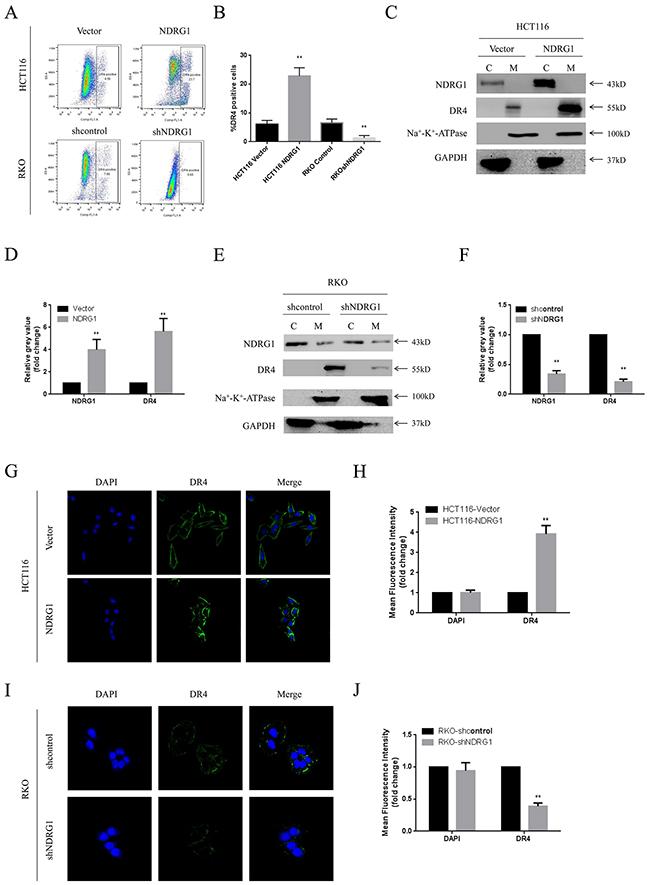 NDRG1 up-regulated death receptor 4 protein level.