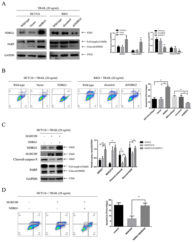 NDRG1 sensitized CRC cells to TRAIL.
