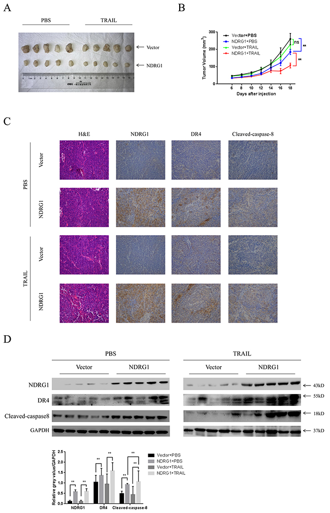 NDRG1 increased sensitivity of CRC cells to TRAIL in vivo.
