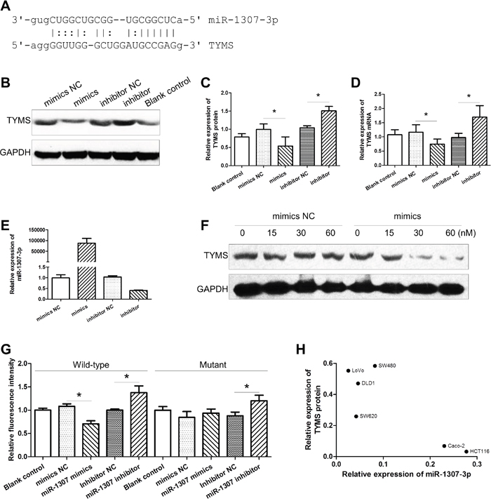 The effect of miR-1307-3p on the expression of TYMS.