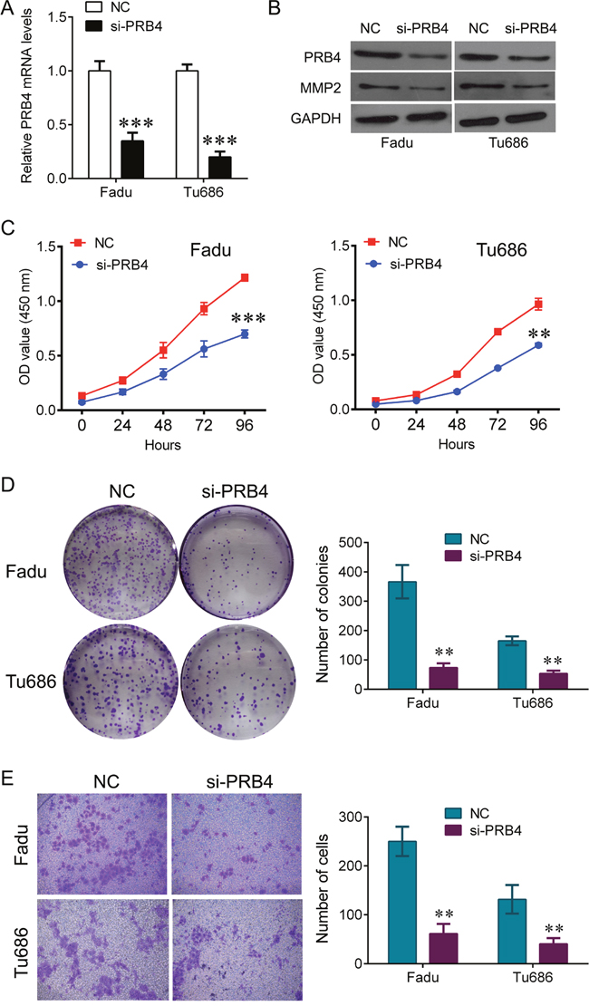 knockdown of PRB4 represses Fadu and Tu686 cells growth and invasion.