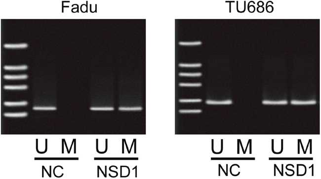The methylation levels of promoter of PRB4 in Fadu and Tu686 cells.