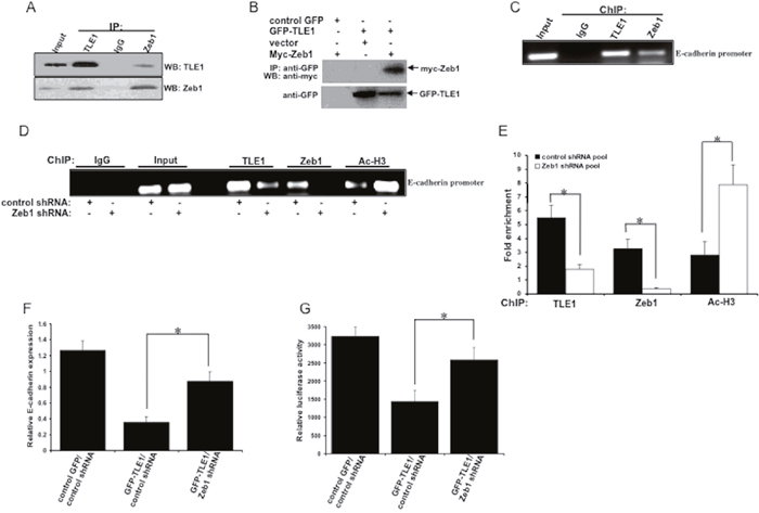 Oncotarget | TLE1 inhibits anoikis and promotes