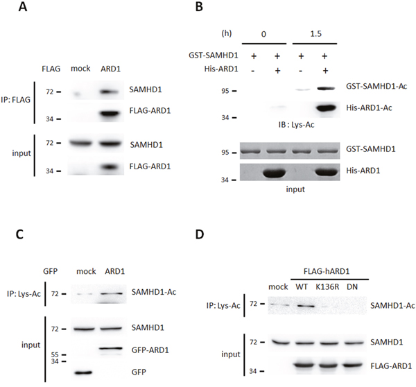 SAMHD1 is a novel acetylation substrate of ARD1.