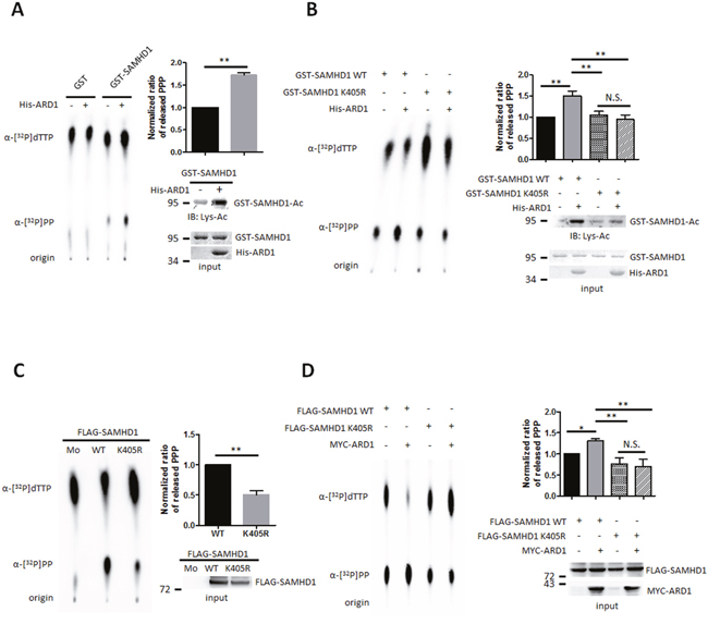 SAMHD1 acetylation upregulates its dNTPase activity.
