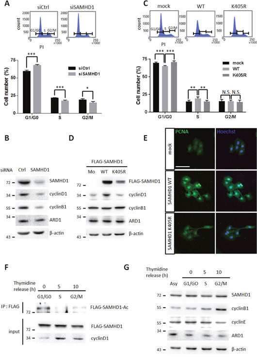 SAMHD1 acetylation promotes G1/G0 transition in cancer cells.