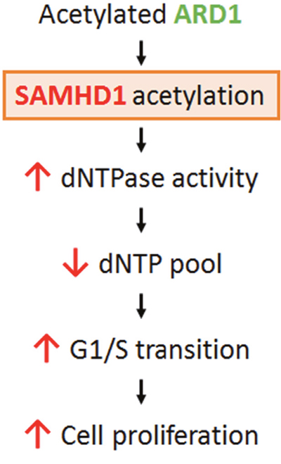 Schematic for the mechanism of ARD1-mediated SAMHD1 acetylation in cancer cell proliferation.