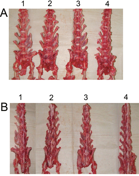 Views of rabbit fusion spines at post-operation 6 weeks.