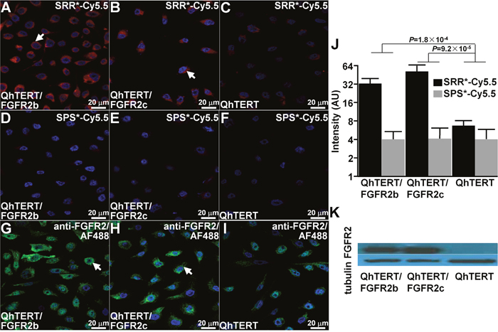 Validation of specific FGFR2 peptide binding to cells.