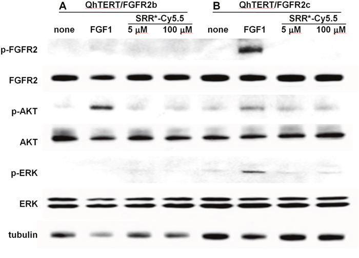 FGFR2 peptide does not affect cell signaling.