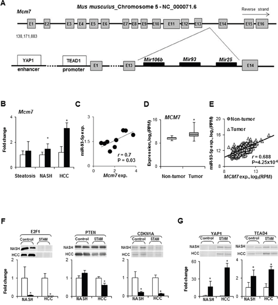 Expression of the Mcm7 gene and miR-106b~25 cluster during NASH-associated hepatocarcinogenesis.