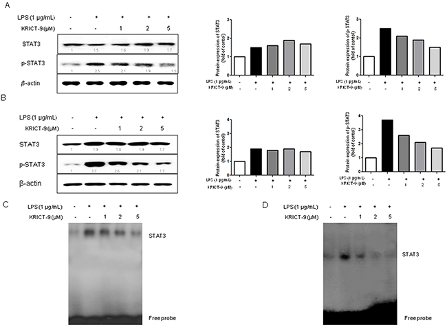 KRICT-9 inhibits LPS-induced STAT3 DNA binding activity in microglia BV-2 cells and astrocytes.