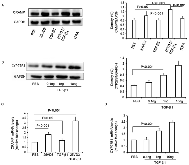 TGF-β1 increases CRAMP depending CYP27B1 in 16HBE cells.