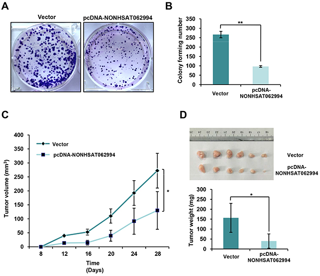 NONHSAT062994 overexpression impairs CRC cell proliferation in vitro and growth in vivo.