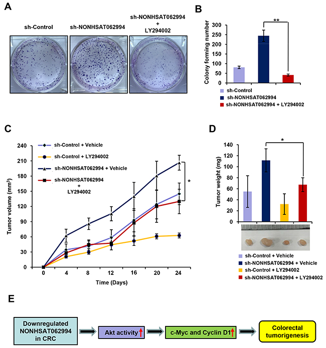 Akt signaling is indispensable for NONHSAT062994-mediated CRC cell proliferation and growth.