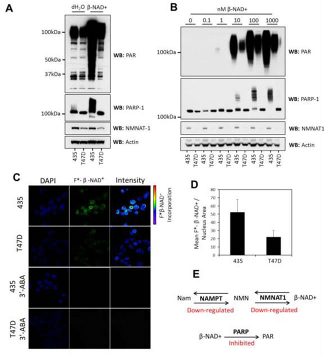 PARylation is inhibited in T47D cells.