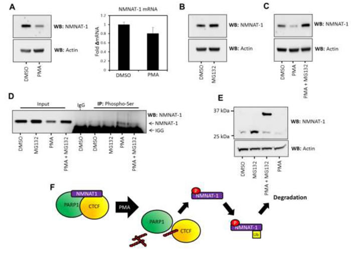 NMNAT-1 expression is regulated at the post-translational level in T47D cells.
