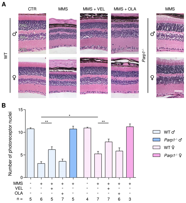 Treatment with PARP inhibitors protects WT mice against sex- and AAG-dependent MMS-induced retinal degeneration.