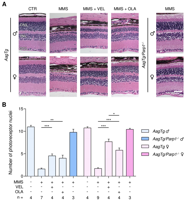 Treatment with PARP inhibitors protects AagTg mice against AAG-dependent MMS-induced retinal degeneration.