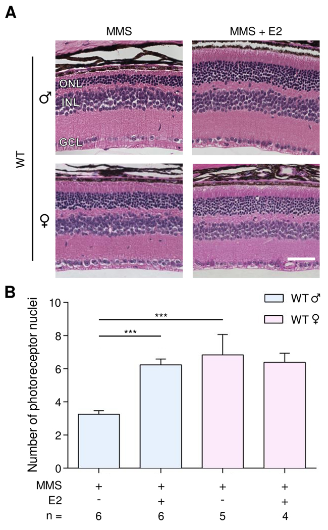 Estradiol protects WT male mice from MMS-induced retinal degeneration.