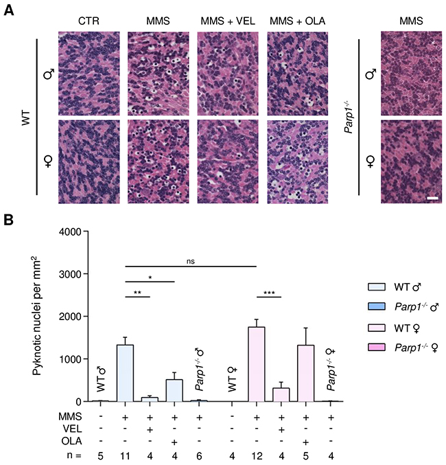 Treatment with PARP inhibitors protects WT mice against AAG-dependent MMS-induced cerebellar degeneration.