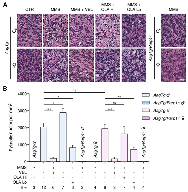Treatment with PARP inhibitors protects AagTg mice against AAG-dependent MMS-induced cerebellar degeneration.