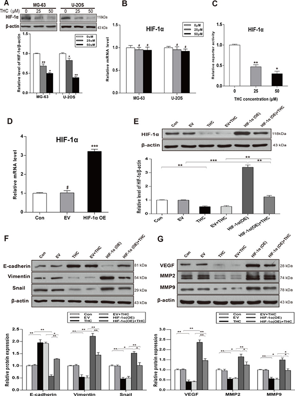 THC facilitates MET process by downregulating the expression of HIF-1α and inhibits HIF-1α-mediated VEGF and MMPs.