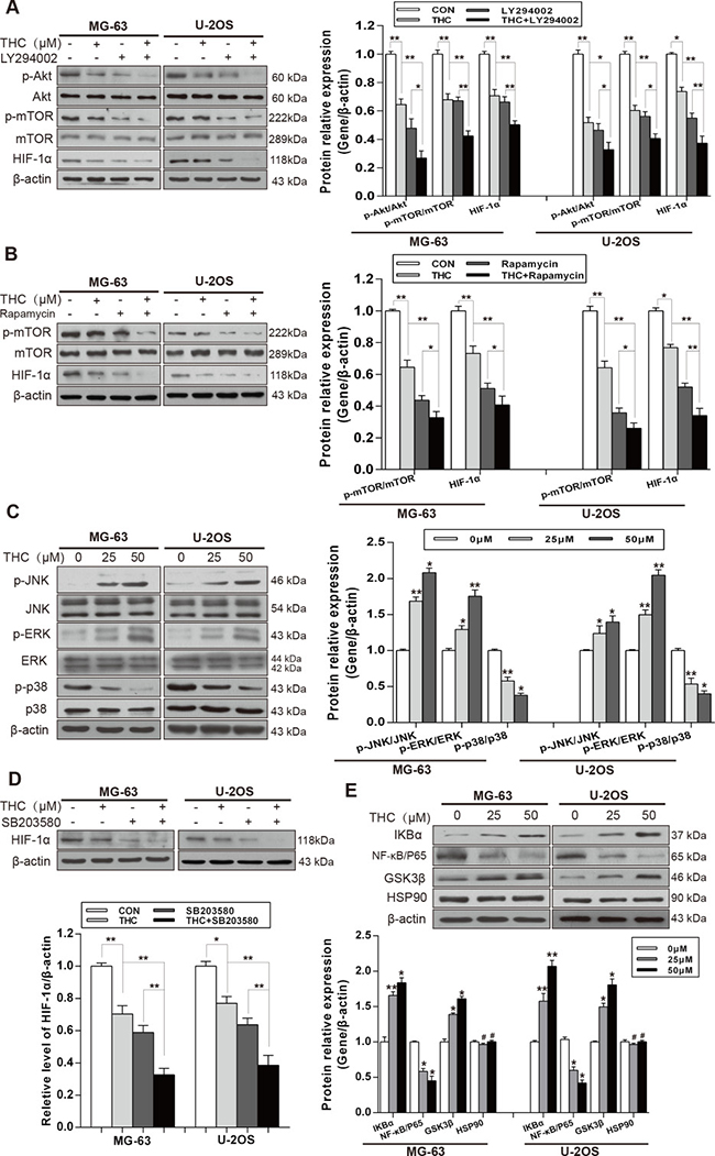 THC downregulates the expression of HIF-1α by suppressing Akt/mTOR and p38 MAPK signaling pathways.