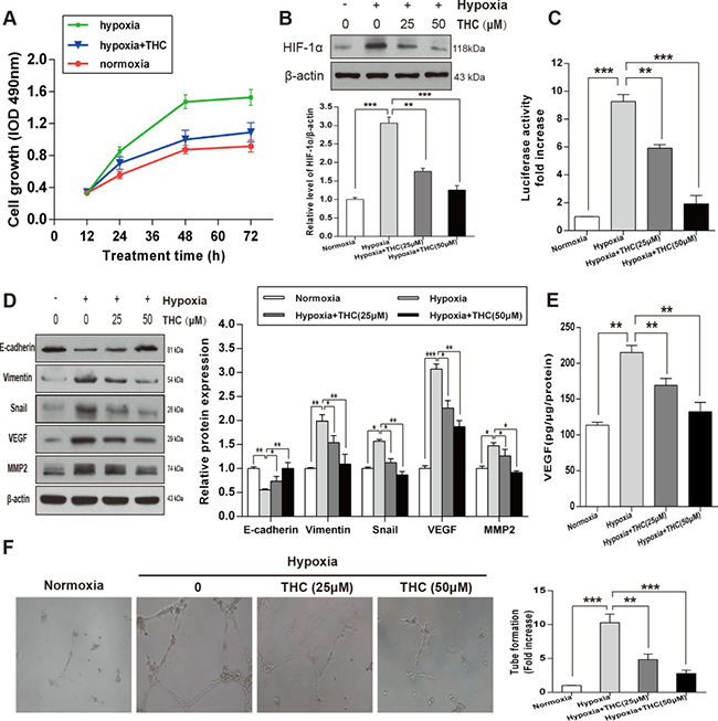 THC inhibits the expression of HIF-1α and angiogenesis and induces MET in hypoxic conditions in U-2OS cells.