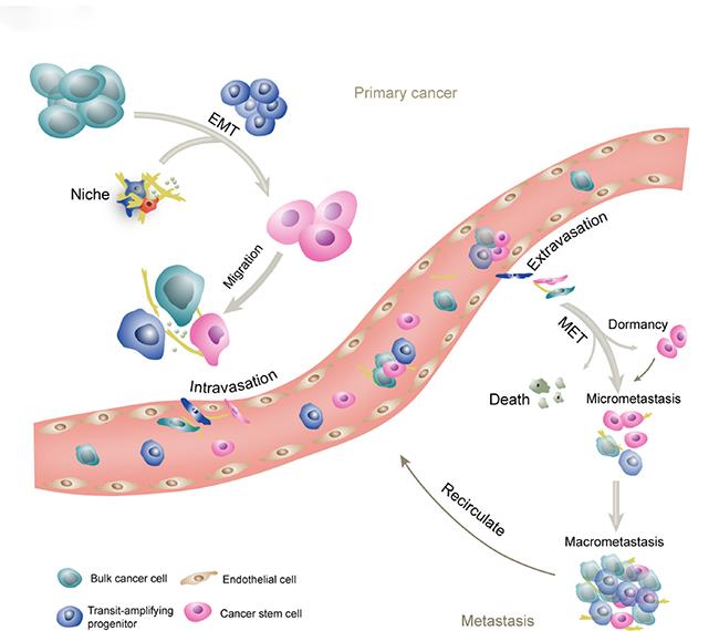 Oncotarget | 3D modeling of cancer stem cell niche