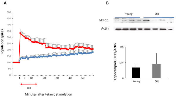 LTP and hippocampal GDF11 protein expression in young vs old mice.