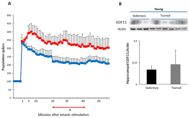 LTP and GDF11 protein expression in hippocampi of sedentary vs trained young mice.