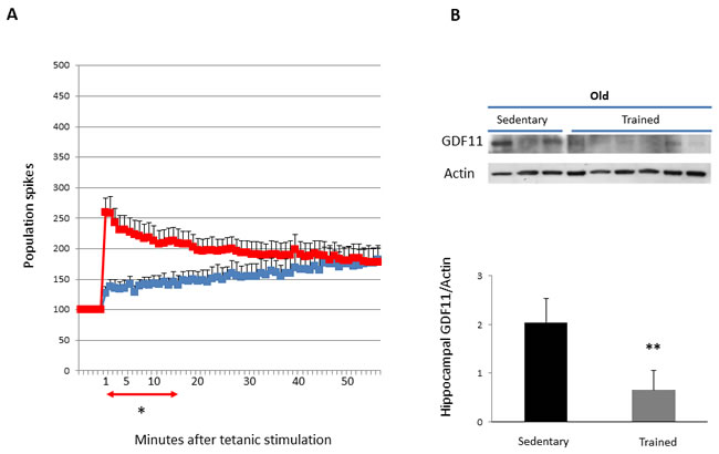 LTP and GDF11 protein expression in hippocampi of sedentary vs trained old mice.