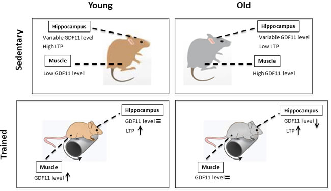 GDF11 expression levels and modulation of synaptic plasticity by age and training