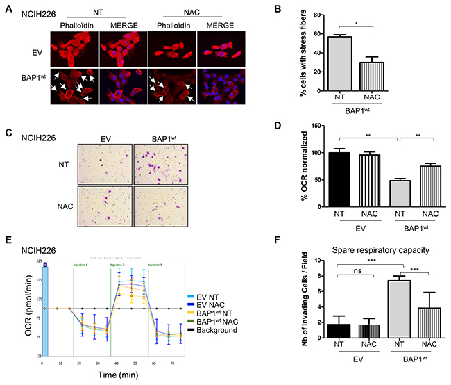 BAP1-related increased ROS level is involved in both morphological and metabolic changes in NCI-H226 cell line.