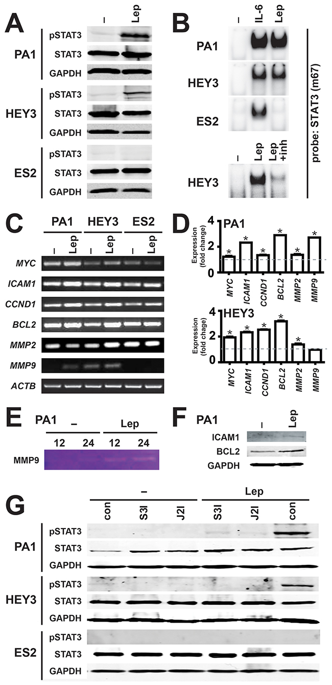 Activation of the JAK2/STAT3 pathway by leptin/LEPR in ovarian cancer.
