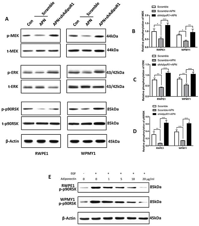 Adiponectin negatively regulates the MEK-ERK-p90RSK axis.