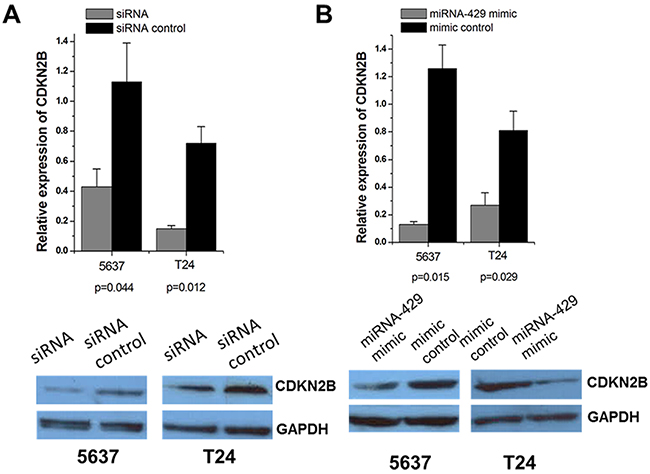 Expression changes of CDKN2B after transfection of CDKN2B siRNA and hsa-miR-429 mimic in T24 and 5637 cells.