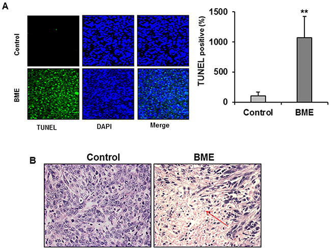 BME feeding induces apoptosis in breast cancer mouse model.