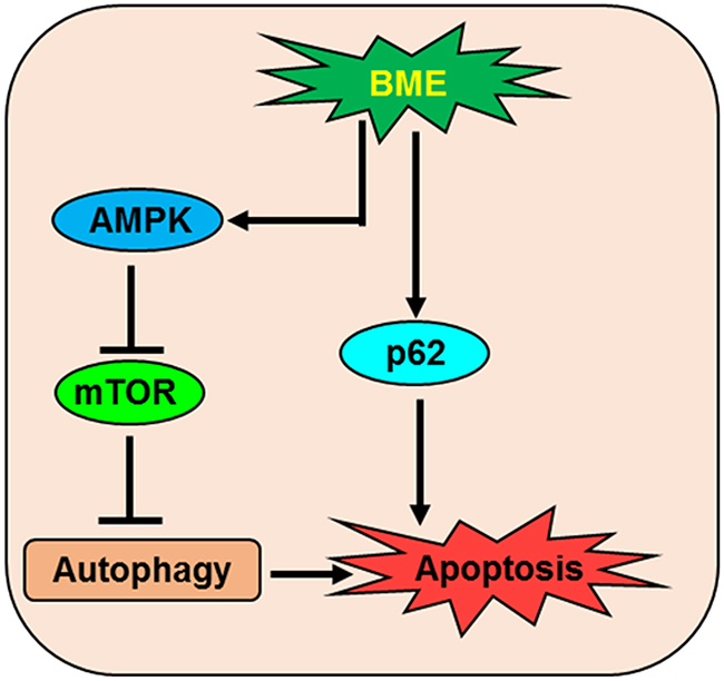 Schematic diagram showing the action of BME in the induction of autophagic cell death in breast cancer.