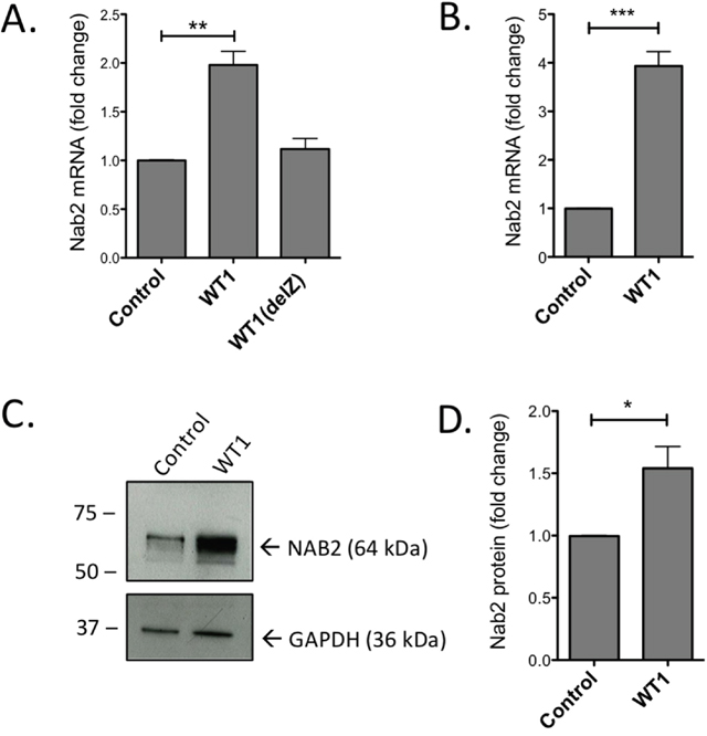 Overexpression of WT1 induces increase of NAB2 mRNA and protein.