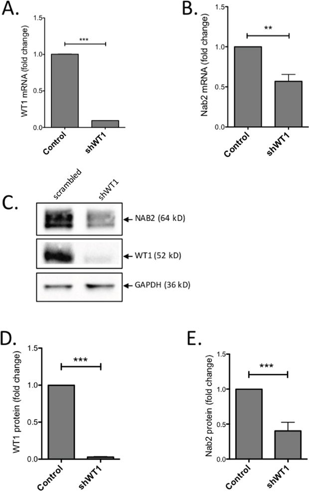 Knock-down of WT1 induces reduction of NAB2 mRNA and protein.
