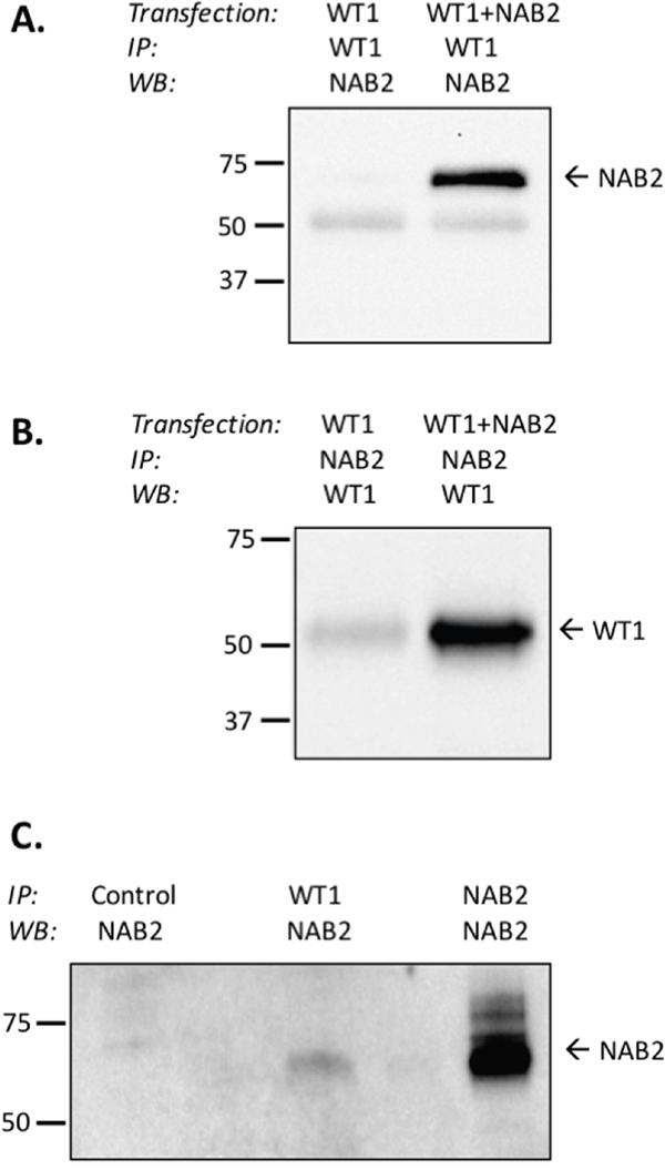 WT1 binds to NAB2.