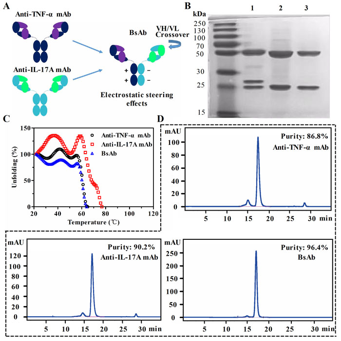 Generation and characterization of anti-TNF-α/IL-17A bispecific antibody (bsAb).