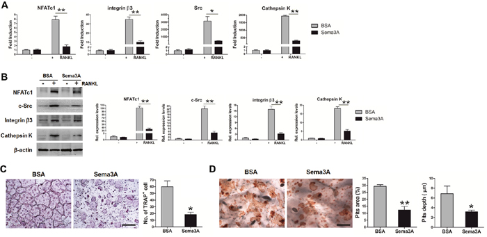Sema3A inhibits osteoclast differentiation and function.