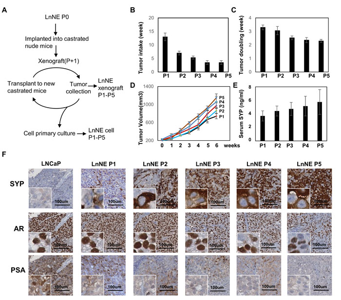 Establishment of LnNE neuroendocrine prostate cancer xenografts.